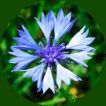 SkinGuard-Centaurea Cyanus Flower Extract